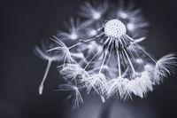Eine Pustblume in Schwarzweiß mit leichter Tonung