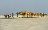 Dromedar-Karawane transportiert Steinsalzplatten über den Assale Salzsee