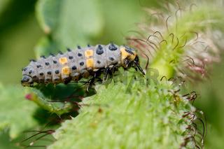 Zweipunkt-Marienkäferlarve
