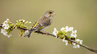 Alert european greenfinch female sitting on branch with blooming white flowers.