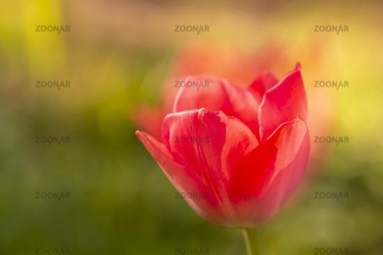 Tulpe, tulip