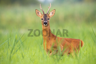 Roe deer buck looking into camera in tall green vegetation in summer nature