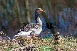 Greylag goose at the waterside