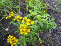 Gelb blühende Glänzende Studentenblume, Tagetes lucida, im Garten