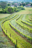 vineyard on the edge on small village called oslip