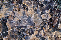 Blätter mit Raureif, leaves with white frost