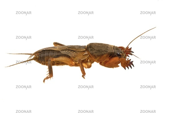European mole cricket isolated on a white background.