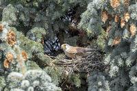 Turmfalke sitzt in seinem Nest auf der Spitze einer Blautanne zwischen Tannennadeln und Tannenzapfen