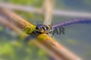 Ringelnatter  'Natrix natrix'