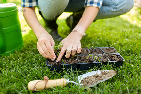 woman planting flower seeds to pots tray with soil