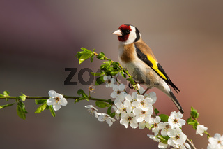 European goldfinch sitting on twig of tree with blossoming flowers in spring.
