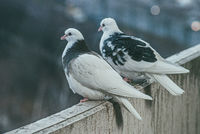 two white and black doves on the balcony over blurred sity background