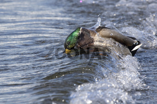 Mallard male that stands on the ocean and is covered by a wave