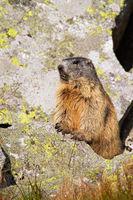 Wild alpine marmot standing on rock in the sunlight.
