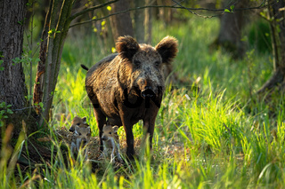 Cute wild boar family with adult mother and tiny piglets approaching in spring