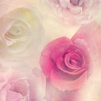Pink white and red Roses close up for background