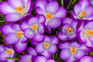 Frühling blühende Krokusse