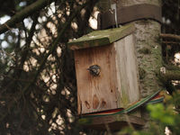 A great tit squeezes into its nesting box