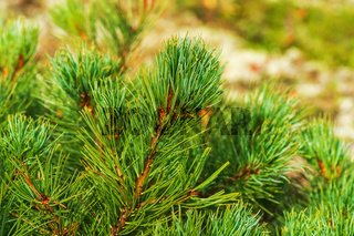 Needles of shrub Dwarf Stone Pine Pinus Pumila. Close-up view of natural floral background. Natural medicinal plant used in traditional medicine
