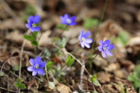 Hepatica Nobilis Flowers in Spring