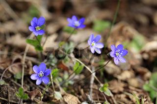 Hepatica Nobilis Flowers in Spring
