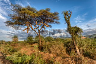 Acacia With Bee hives, Ethiopia, Africa