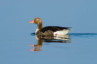 Sunlit solitary greylag goose floating on blue water with reflection on surface