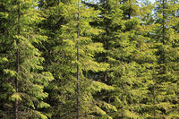 Background of Green Spruce Tree Forest