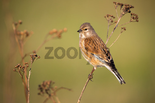 Common linnet female sitting on thin dry plant in spring nature