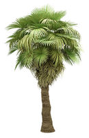 california palm tree isolated on white background