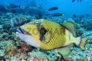 Balistes viridescens, Balistoides viridescens, Gruener Riesen Drueckerfisch, Malediven, Giant or Titan Driggerfish, Maldives