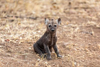 Baby hyena alone  in South Africa