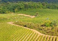 Vineyard - Monteriggioni