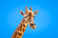Giraffe portrait isolated in front of a blue sky