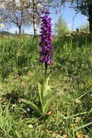Stattliches Manns-Knabenkraut, Early purple orchid, orchis mascula