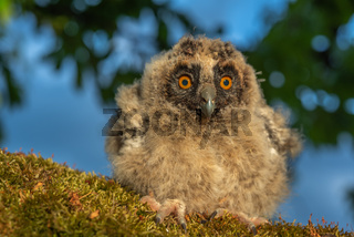 Long-eared Owl chicks perched on a branch in an orchard