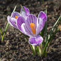 Blüten des Frühlings-Krokus