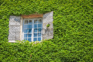Window on house overgrown with ivy