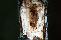 Deep holes in young, but dead trees made by Black woodpecker