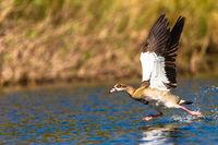 Bird Geese Take-off Run Water