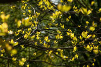 Young leaves on tree branches through which sunlight passes.