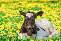 Portrait newborn calf lying in blooming meadow