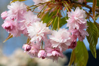 Hill Cherry 'Kiku-Shidare-Sakura', Prunus serrulata