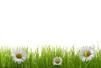 Gras im Frühling - Ostergras - Freisteller