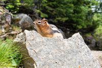 Golden-mantled Ground Squirrel, Callospermophilus lateralis