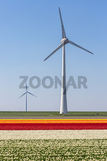 Colorful tulip fields with windturbines in the Netherlands