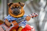 Russia. Saint Petersburg. 07.18.2020. A dog with a guitar in his hands, in a sailor's suit on the lap of a street musician