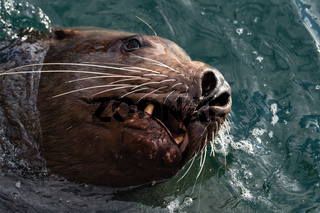 Wild sea animal Steller Sea Lion swims in cold waves Pacific Ocean