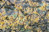 Zaubernuss Hamamelis x intermedia - Barmstedt Gold