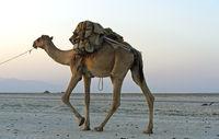 Mit Steinsalz beladenes Dromedare einer Karawane auf dem Assale Salzsee, Äthiopien